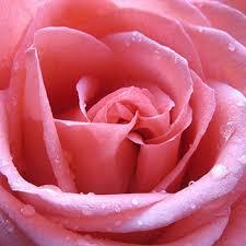 Rose callus extract